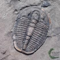 Big Elrathia kingii Trilobite Fossil