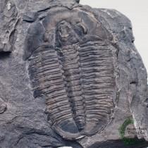 Elrathia kingii Trilobite Fossil with PREDATORY BITE MARK from Anomalocaris