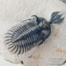 Top Quality Short Trident Walliserops lindoei 2.5 in Spiny Trilobite