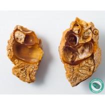 2.05 in Druzy Carnelian Agate Split Pair Sea Snail Gastropod from Western Sahara