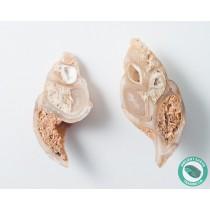 2 in Polished Agate Split Pair Sea Snail Gastropod from Western Sahara