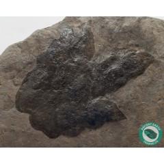 Giant Eubrontes Dinosaur Footprints Claw Track Fossil Grallator - New Jersey