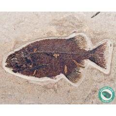 "10.8"" Huge Phareodus Fossil Fish Green River - Wyoming"