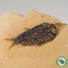 4 in Knightia alta Fossil Fish Green River - Wyoming