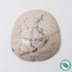 1.62 in Polished Sand Dollar Fossil Dendraster gibbsii - California