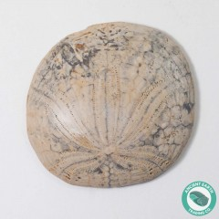 1.98 in Polished Sand Dollar Fossil Dendraster gibbsii - California