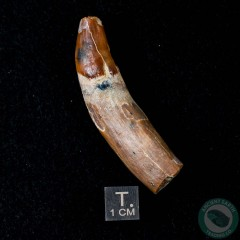2.28 inch Fossil Pinniped Sea Lion Seal Tooth (Allodesmus kernensis) from Sharktooth Hill, California