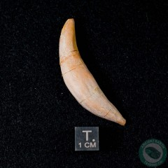 2.07 inch Fossil Sperm Whale Tooth (Aulophyseter morricei) from Sharktooth Hill, California