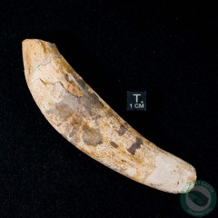 4.67 inch Fossil Pinniped Sea Lion Seal Tooth (Allodesmus kernensis) from Sharktooth Hill, California