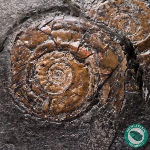 2 in. Bright Psiloceras Ammonite - England