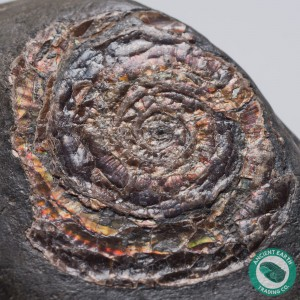 Large 1.84 in Brilliant Rainbow Psiloceras Ammonite - England