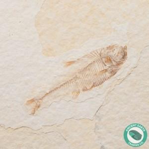 2.14 in Diplomystus Green River Fossil Fish - Wyoming