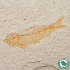 3.76 in Knightia alta Fossil Fish Green River - Wyoming