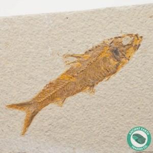 4.35 in Knightia eocaena Fossil Fish Green River - Wyoming