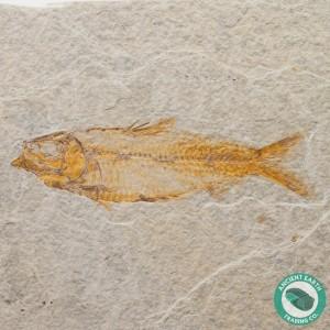 4.5 in Knightia alta Fossil Fish Green River - Wyoming
