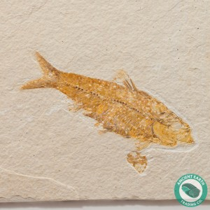 3.67 in Knightia eocaena Fossil Fish Green River - Wyoming