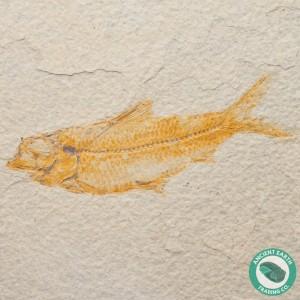 4.36 in Knightia alta Fossil Fish Green River - Wyoming