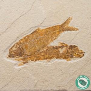 Double Knightia alta Fossil Fish Green River - Wyoming