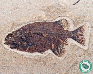 "10.8"" Huge Phareodus Fossil Fish Green River - Wyoming"