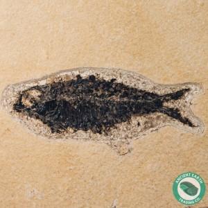 4.3 in Knightia alta Fossil Fish Green River - Wyoming