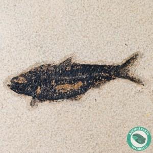 4.18 in Knightia alta Fossil Fish Green River - Wyoming