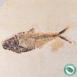 GIANT 7.25 in Diplomystus Green River Fossil Fish - Wyoming