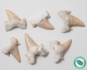 Otodus Shark Tooth Fossil - 25 Pack - Morocco