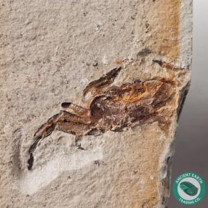 Pea Crab Fossil P. miocenica - California