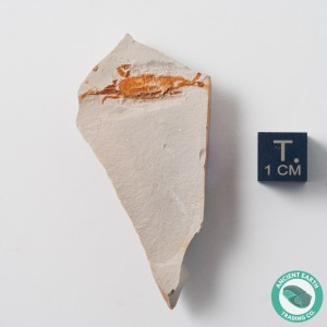 Orange Pea Crab Fossil P. miocenica - California