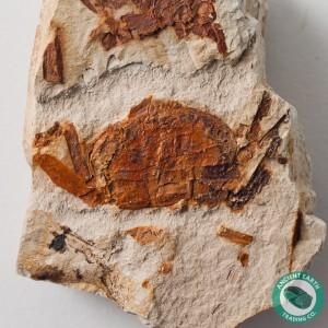 Pea Crab Fossil P. montereyensis - California