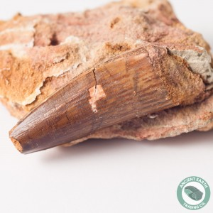 1.56 in Spinosaurus Tooth in Matrix - Morocco