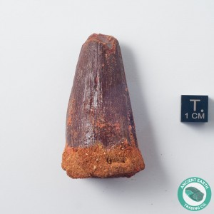 2.2 in Gem Pathological Bent Spinosaurus Tooth - Morocco
