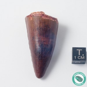 2 in Gem Spinosaurus Tooth - Morocco