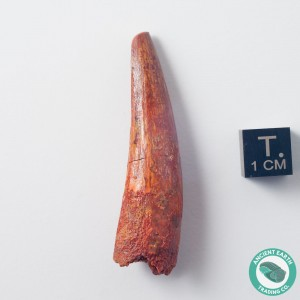 2.07 in Gem Spinosaurus Tooth - Morocco