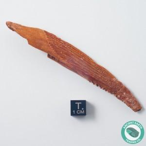 4.18 in Hybodus Shark Dorsal Spine - Morocco