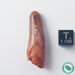 1.6 in Gem Rebbachisaurus Sauropod Tooth - Morocco