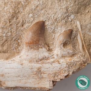 New Species Mosasaur Teeth in Jaw Bone - Morocco