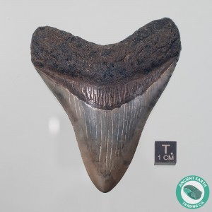 3.53 inch Megalodon Fossil Shark Tooth from South Carolina