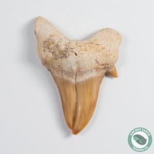 """1.51"""" Pathologic Otodus Shark Tooth Fossil - Morocco"""