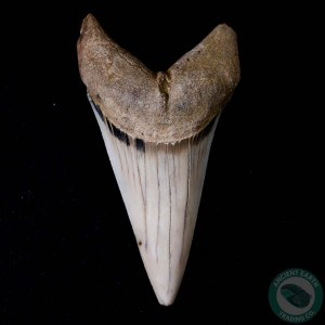 2.64 inch Fossil White Shark Tooth (Carcharodon hastalis) from Sharktooth Hill, California