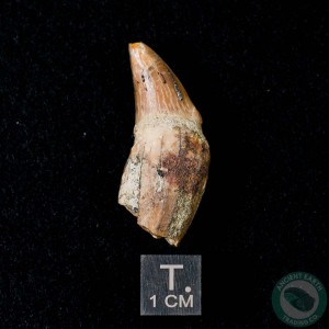 1.39 inch Fossil Pinniped Sea Lion Seal Tooth (Allodesmus kernensis) from Sharktooth Hill, California