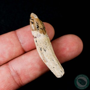 1.9 inch Fossil Pinniped Sea Lion Seal Tooth (Allodesmus kernensis) from Sharktooth Hill, California