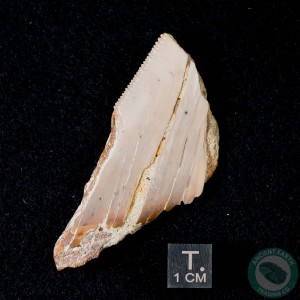 2.39 inch Megalodon Serrated Shark Tooth from Sharktooth Hill, California
