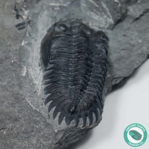 "1.16"" Greenops boothi Trilobite - New York"