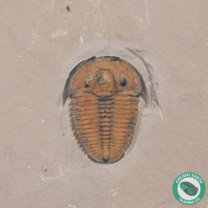 Fine Red Elrathia Trilobite Fossil - Utah