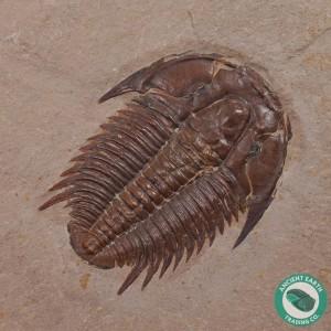 """1.18"""" Modocia Trilobite Fossil Marjum Fm - Utah"""