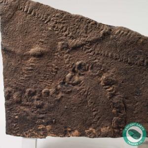 Fossil Trilobite Tracks Cruziana + Diplichnites + Fustiglyphus - Morocco