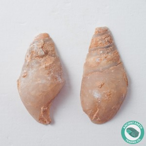 1.84 in Polished Agate Split Pair Sea Snail from Western Sahara