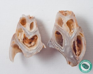 1.76 in Polished Agate Split Pair Sea Snail from Western Sahara