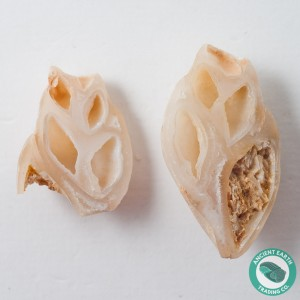 2.02 in Polished Agate Split Pair Gastropod from Western Sahara